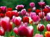 photo-tulips