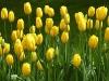 tulips-yellow2